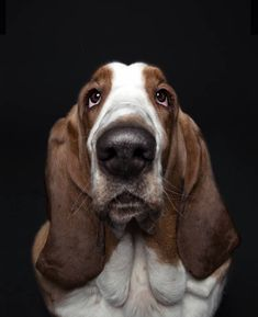 Sweet Basset Hound - Photographer Alexander Khokhlov and his wife Veronica Ershova show off the personalities of pups with their series of custom dog portraits. Dog Show, Custom Dog Portraits, Pet Portraits, Family Portraits, Pet Dogs, Dogs And Puppies, Basset Hound Dog, Different Dogs, Dog Art