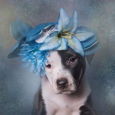 adoptar-perros-pitbull-flores-sophie-gamand (2)