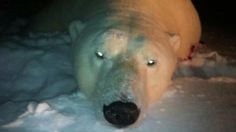 Stop the hunting of Polar Bears in Canada, and trading of Polar Bear products. http://www.change.org/petitions/governemt-of-canada-world-trade-organization-stop-the-hunting-of-polar-bears-in-canada-and-trading-of-polar-bear-products?share_id=NvHGUQsndY&utm_campaign=share_button_action_box&utm_medium=facebook&utm_source=share_petition #SeaShepherd #defendconserveprotect