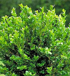The Boxwood Winter Gem is considered the classic evergreen boxwood hedge plant in the2-3 foot hedge range.