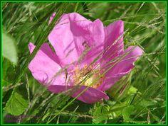Summerjoys by Heli Aarniranta on ARTwanted Annual Plants, Planting Flowers, Flora, Herbs, Pictures, Image, Photos, Plants, Herb