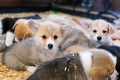 Corgi puppies  I want a whole basket of these puppies!!!!