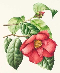 Fine reproductions of antique botanical art. Thousands of flowers, trees, herbs in prints and paintings http://www.botanical-gallery.co.uk/default.aspx