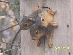 Steve Bries - 3 Baby Squirrels