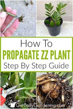 If you have a ZZ plant at home and would love more of them, read my guide on Zamioculcas zamiifolia propagation before buying another. It's an easy process that utilizes water or soil, and you can even choose to use stem cuttings or to propagate with leaves. If your ZZ plant has multiple stems, I've shared step by step instructions on how to divide it and quickly have multiple new ones to enjoy. ZZ plant propagation is so easy that you'll be able to fill your house, and have plenty to share. Zz Plant, Plant Stem, Light Shield, Rubber Plant, Mother Plant, Plant Cuttings, Free Plants, Potting Soil, Seed Starting