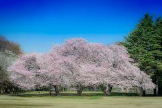 Sakura in Kinuta Park, Tokyo