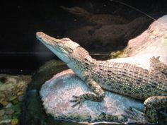 Saltwater Crocodile Baby
