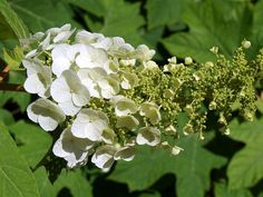 Hydrangea Quercifolia, Shade Loving Shrubs, Four Seasons, Outdoor Gardens, Herbs, Fruit, Plants, Hydrangeas, Modern