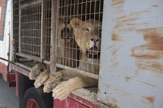 """Circus in Spain Ends Use of Wild Animals and Turns Lions Over to Animal Welfare Organization - In the last few years the governments of more than 400 municipalities in Spain have declared the areas """"free of circuses (that use) wild animals.""""  https://www.aap.nl/en/news/success-spanish-circus-voluntarily-stops-wild-animal-performances-and-hands-lions-aap?utm_content=buffer4a2c1&utm_medium=social&utm_source=facebook.com&utm_campaign=buffer"""