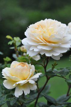 """Rose """" Crocus Rose """" , (AUSquest) , David C. H. Austin (United Kingdom, 2000)"""