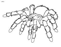 spider coloring page | coloring pages | pinterest | spider - Black Widow Spider Coloring Pages