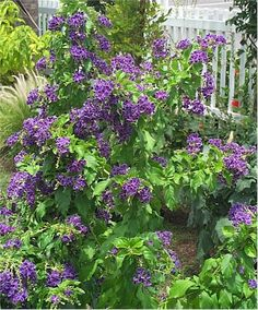 Duranta - I need bunches of these. They smell fantastic. We just got one, check! Plants For Planters, Fence Plants, Outdoor Plants, Garden Plants, Duranta, Colorful Garden, Purple Garden, Sun Loving Plants, African Flowers