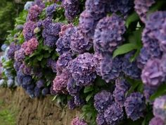 Purple hydrangeas: all year  $$$