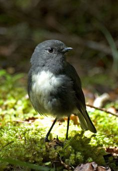 South Island Robin - New Zealand thanks you Don Merton.