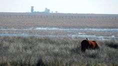 Retuertas horse, Doñana Marshes Reserve, Andalucía, Spain. It is said that it is one of the oldest type of horses in Europe and is strictly protected by the Spanish government.