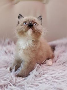 Baby Kittens, Kittens Cutest, Cats And Kittens, Persian Cats, Pet Boutique, Cute Cows, Cat Aesthetic, Cat Cat, Beautiful Cats