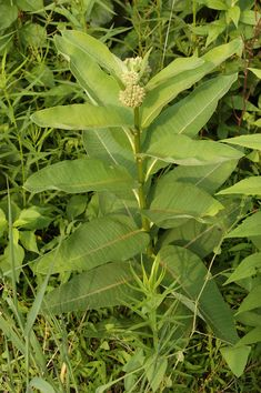 Milkweed: A Truly Remarkable Wild Vegetable http://foragersharvest.com/milkweed-a-truly-remarkable-wild-vegetable/