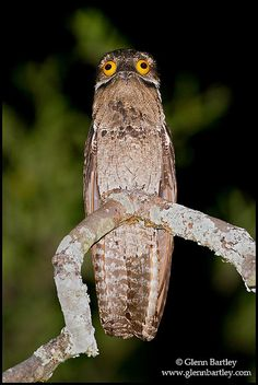Common Potoo (Nyctibius griseus) perched on a branch in Peru. By Glenn Bartley - www.glennbartley.com