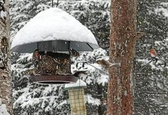 Predicting winter bird irruptions, surges in numbers, is infinitely more accurate than long-range weather forecasts — though just as meteorologists have difficulty tracking the edge of a major snow event even a few days ahead, it can be hard to know at whose bird feeder unusual species from the far north will dine.