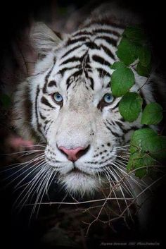 White tigers are my favorite... Especially with eyes that blue