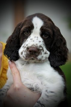 That speckled muzzle, brown nose, with that look of. Springer Spaniel Puppies, English Springer Spaniel, Spaniel Dog, Cute Puppies, Dogs And Puppies, Cute Dogs, Doggies, Corgi Puppies, Animals And Pets