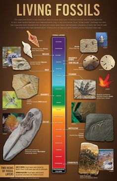 """Living fossils are found throughout the fossil layers. In fact, almost every """"family"""" of living animals has an amazingly similar ancestor preserved deep in the fossil record. What does this mean? This exclusive wall chart provides an overview of some of these living fossils."""