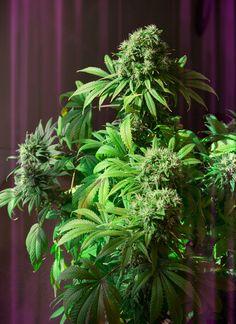 Flowering Cannabis plants. #GrowWeed #MMJ