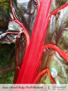 Ruby Red chard will beautify your garden as well as your plate! A vigorous grower with a long growing season, it will provide fresh greens from early summer into fall, and year-round in mild climates. Read more: https://www.botanicalinterests.com/product/swiss-chard-ruby-red-rhubarb-heirloom-seeds/