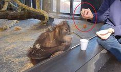 Deze aap reageert hilarisch op een simpele goocheltruc!
