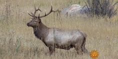 This week's moment in nature takes us among the bugling elk at Rocky Mountain National Park in Colorado.