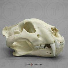 Jaguar skull
