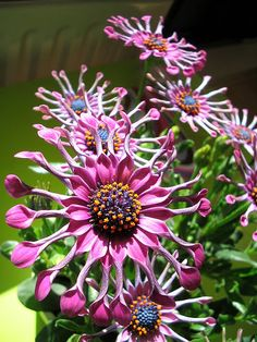 A weird beauty: Een bijzondere 'Spaanse Margriet' (Osteospermum Ecklonis) via flickr .#letyoursoulflower