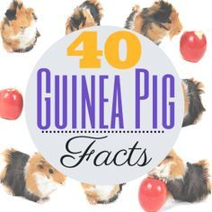 Lots of information about guinea pigs
