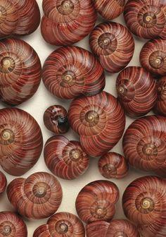 Brown | Buraun | Braun | Marrone | Brun | Marrón | Bruin | ブラウン | Colour | Texture | Pattern | Style | NZ land snail shells