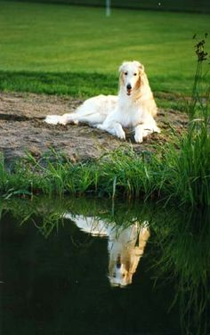 Borzoi reflecting in the water. #animals #dogs #borzoi
