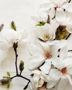 Magnolia. Always a s