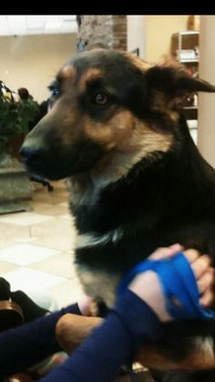 Rex the gsd very scared to be at the vet