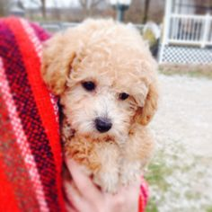 Our Puppy, Wiley (Toy poodle)