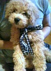English Goldendoodle Puppies for sale, Mini Goldendoodles- breeder