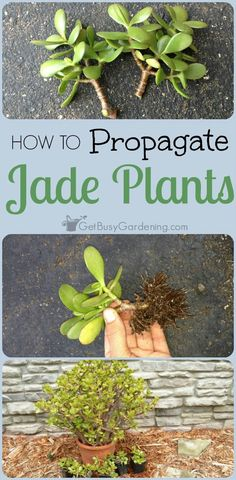 plants can be propagated from stem or leaf cuttings. Here are step by step instructions for propagating jade plants.Jade plants can be propagated from stem or leaf cuttings. Here are step by step instructions for propagating jade plants. Crassula Succulent, Jade Succulent, Propagating Succulents, Plant Cuttings, Growing Succulents, Succulent Gardening, Cacti And Succulents, Growing Plants, Planting Succulents
