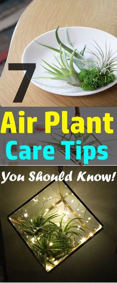 Want to grow air plants indoors? Check out the 7 most helpful Air Plant Care Tips before you start!