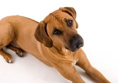 I always wanted a Rodesian Ridgeback. Then I found Trey and fell in love with his owner ;)