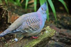 australian dove by driesio