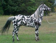 Apalusa. El origen de este caballo viene de los caballos españoles que fueron criados y seleccionados por los indios Nez Perce. Probablemente vieron en esta raza el prototipo de animal que buscaban para sus actividades de caza y guerra, en particular por su color, nobleza, versatilidad y fortaleza de estructura. Es uno de los mejores caballos del mundo para recorrer grandes distancias.