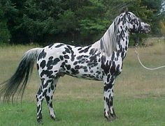 What a gorgeous AraAppaloosa! Arabian/Appaloosa cross.
