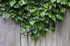 Ivy, Wood, Wooden, Fence, Plant