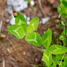ladybugs on four leaf clovers: i dream of being #lucky