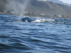We sent Doreen who works for us on a whale boat trip to see for herself what an amazing trip this is. She books so many trips for our guests it was really nice of Southern Right Charters to invite her along. Whales, Really Cool Stuff, Invite, Trips, Southern, Boat, Amazing, Animals, Outdoor