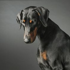 Classic and beautiful Doberman Pinscher with uncropped ears.