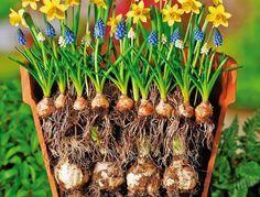 Blumenzwiebeln richtig pflanzen, zum Beispiel in Schichten